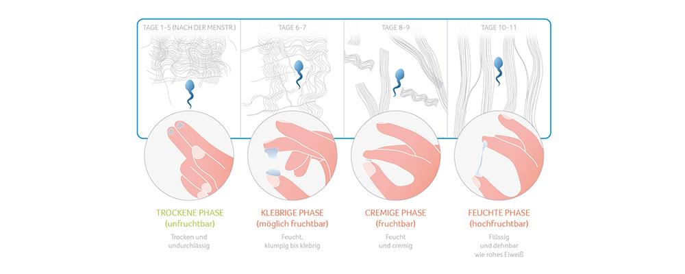 ovulation berechnen eisprung schnell und einfach bestimmen